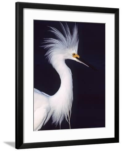 Portrait of a Snowy Egret in Breeding Plumage, Ding Darling NWR, Sanibel Island, Florida, USA-Charles Sleicher-Framed Art Print