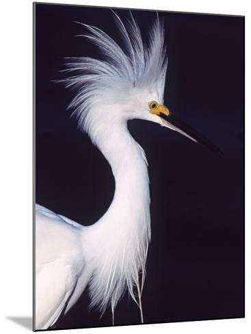 Portrait of a Snowy Egret in Breeding Plumage, Ding Darling NWR, Sanibel Island, Florida, USA-Charles Sleicher-Mounted Photographic Print