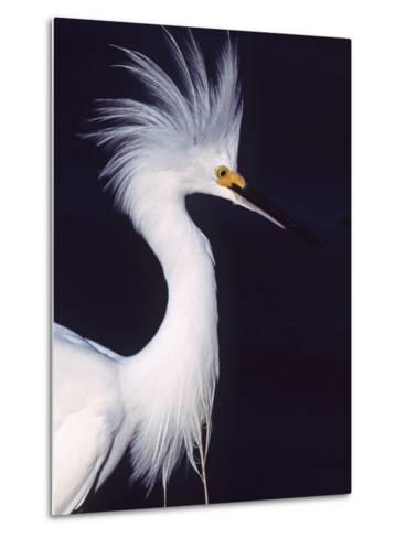 Portrait of a Snowy Egret in Breeding Plumage, Ding Darling NWR, Sanibel Island, Florida, USA-Charles Sleicher-Metal Print