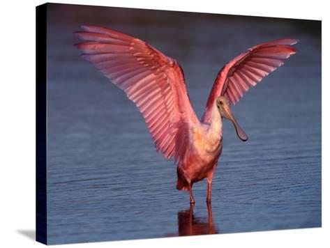 Roseate Spoonbill with Wings Spread, Everglades National Park, Florida, USA-Charles Sleicher-Stretched Canvas Print