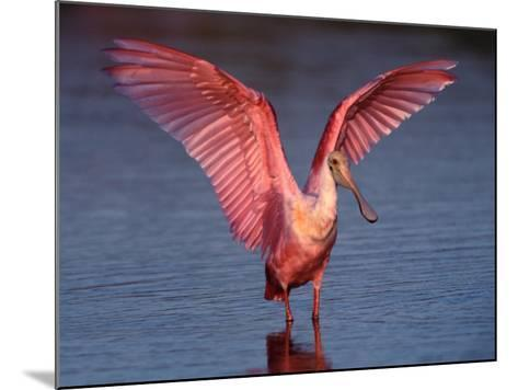 Roseate Spoonbill with Wings Spread, Everglades National Park, Florida, USA-Charles Sleicher-Mounted Photographic Print