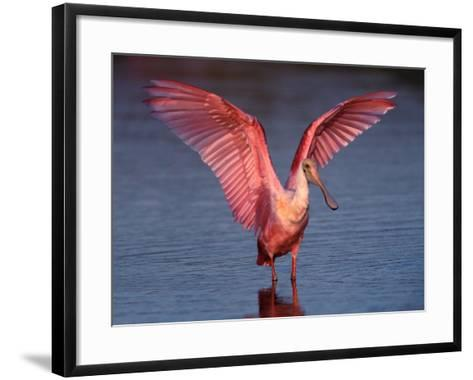 Roseate Spoonbill with Wings Spread, Everglades National Park, Florida, USA-Charles Sleicher-Framed Art Print