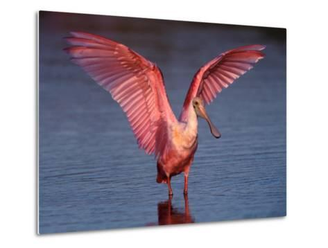 Roseate Spoonbill with Wings Spread, Everglades National Park, Florida, USA-Charles Sleicher-Metal Print