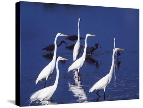 Six Great Egrets Fishing with Tri-colored Herons, Ding Darling NWR, Sanibel Island, Florida, USA-Charles Sleicher-Stretched Canvas Print