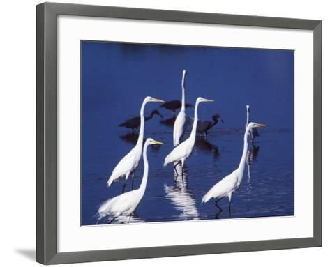 Six Great Egrets Fishing with Tri-colored Herons, Ding Darling NWR, Sanibel Island, Florida, USA-Charles Sleicher-Framed Art Print