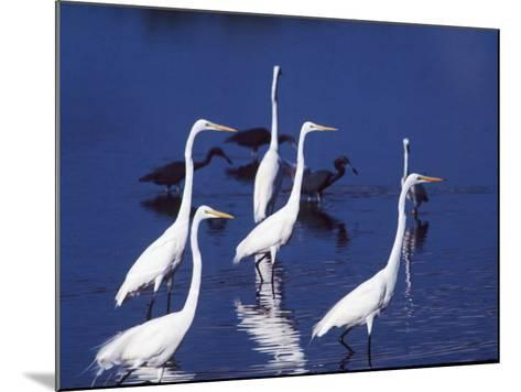 Six Great Egrets Fishing with Tri-colored Herons, Ding Darling NWR, Sanibel Island, Florida, USA-Charles Sleicher-Mounted Photographic Print