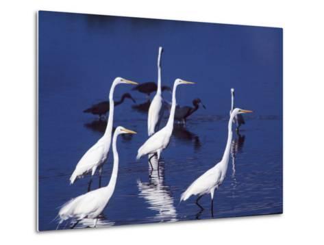 Six Great Egrets Fishing with Tri-colored Herons, Ding Darling NWR, Sanibel Island, Florida, USA-Charles Sleicher-Metal Print
