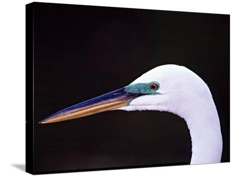 Great Egret in Breeding Plumage, Florida, USA-Charles Sleicher-Stretched Canvas Print