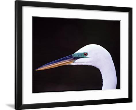 Great Egret in Breeding Plumage, Florida, USA-Charles Sleicher-Framed Art Print