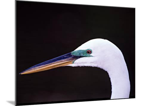 Great Egret in Breeding Plumage, Florida, USA-Charles Sleicher-Mounted Photographic Print