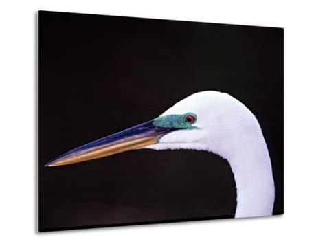 Great Egret in Breeding Plumage, Florida, USA-Charles Sleicher-Metal Print