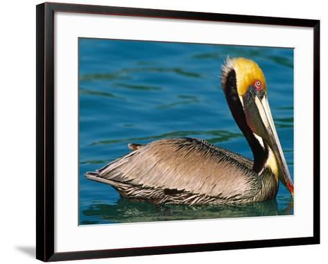 Male Brown Pelican in Breeding Plumage, West Coast of Mexico-Charles Sleicher-Framed Art Print