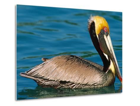 Male Brown Pelican in Breeding Plumage, West Coast of Mexico-Charles Sleicher-Metal Print
