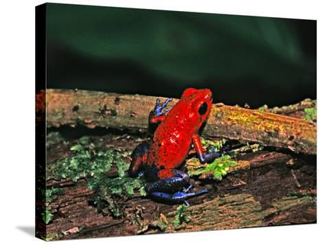Strawberry Poison Dart Frog, Rainforest, Costa Rica-Charles Sleicher-Stretched Canvas Print