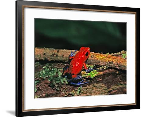 Strawberry Poison Dart Frog, Rainforest, Costa Rica-Charles Sleicher-Framed Art Print