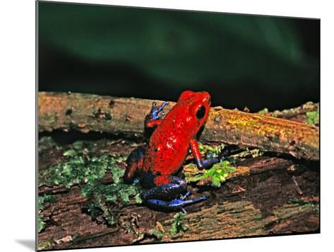 Strawberry Poison Dart Frog, Rainforest, Costa Rica-Charles Sleicher-Mounted Photographic Print