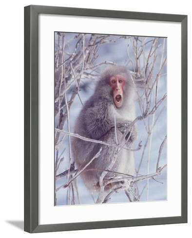 Japanese Macaques in Shiga Mountains of Japan-Co Rentmeester-Framed Art Print