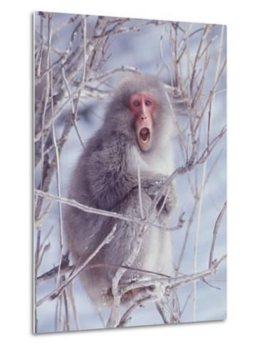Japanese Macaques in Shiga Mountains of Japan-Co Rentmeester-Metal Print