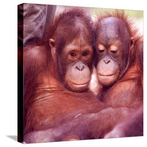 Orangutans in Captivity, Sandakan, Soabah, and Malasia, Town in Br. North Borneo-Co Rentmeester-Stretched Canvas Print