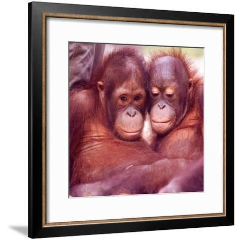 Orangutans in Captivity, Sandakan, Soabah, and Malasia, Town in Br. North Borneo-Co Rentmeester-Framed Art Print