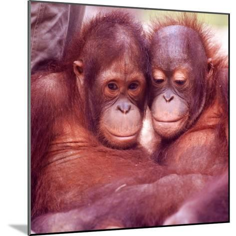 Orangutans in Captivity, Sandakan, Soabah, and Malasia, Town in Br. North Borneo-Co Rentmeester-Mounted Photographic Print