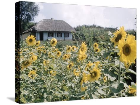 Russian Look of the Land Essay: Field of Blooming Sunflowers on Farm-Howard Sochurek-Stretched Canvas Print