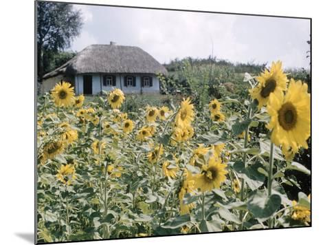Russian Look of the Land Essay: Field of Blooming Sunflowers on Farm-Howard Sochurek-Mounted Photographic Print