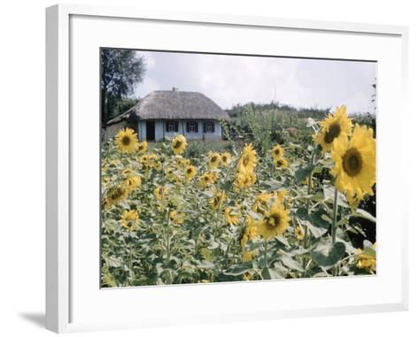 Russian Look of the Land Essay: Field of Blooming Sunflowers on Farm-Howard Sochurek-Framed Art Print