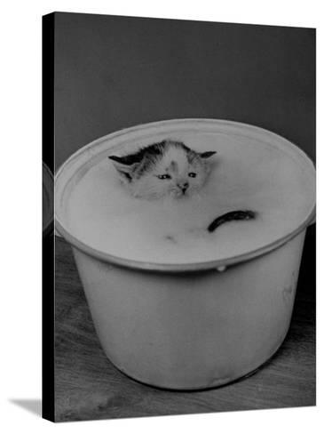 Greedily Hungry Kitten Almost Drowning in a Pot of Milk after Climbing over the Side to Drink-Nina Leen-Stretched Canvas Print