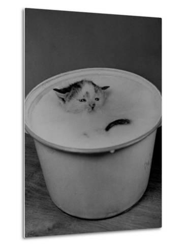 Greedily Hungry Kitten Almost Drowning in a Pot of Milk after Climbing over the Side to Drink-Nina Leen-Metal Print