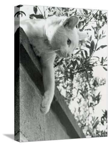 Cat Owned by Olympic Track Star Harold Connoly and Family-Bill Eppridge-Stretched Canvas Print