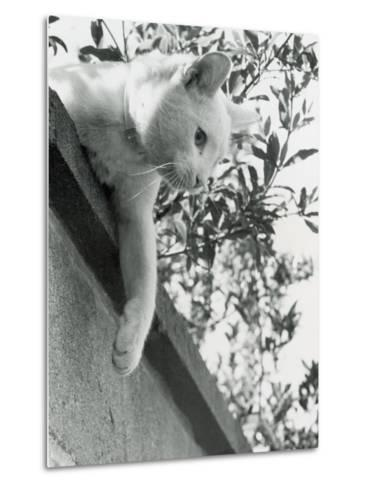 Cat Owned by Olympic Track Star Harold Connoly and Family-Bill Eppridge-Metal Print