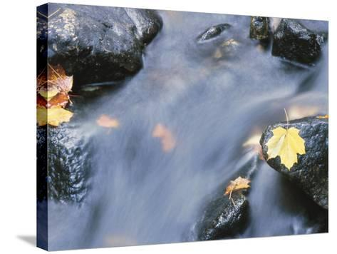 Close-Up of a Stream with Fallen Maple Leaves Caught on the Boulders--Stretched Canvas Print