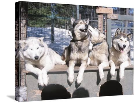 Husky Dogs Resting in Kennel in Winter--Stretched Canvas Print