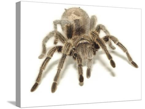 Furry Legs on Crawling Brown Tarantula--Stretched Canvas Print