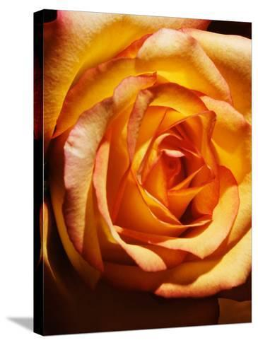 Close-Up of Beautiful Blooming Orange Rose--Stretched Canvas Print