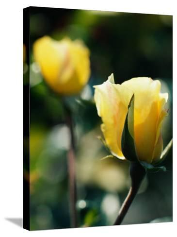 Close-Up of Beautiful Yellow Cultivated Rose--Stretched Canvas Print