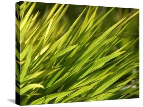 Close-Up of Verdant Green Blades of Grass Growing--Stretched Canvas Print