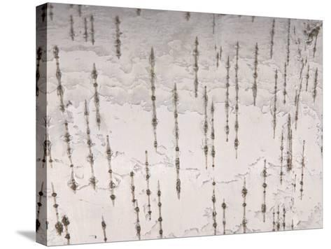 Birch Bark Patterned Background--Stretched Canvas Print