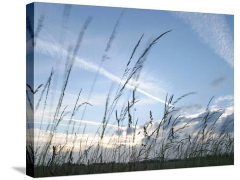 Close-Up of Tall Grass Blowing in Rural Field--Stretched Canvas Print