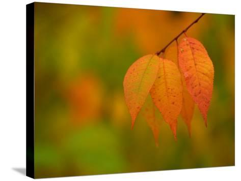 Leaves During Autumn in Nature--Stretched Canvas Print