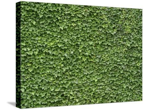 Lush Bright Green Ivy Textured Background--Stretched Canvas Print