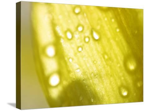 Water Droplets on Yellow Flower Petal--Stretched Canvas Print