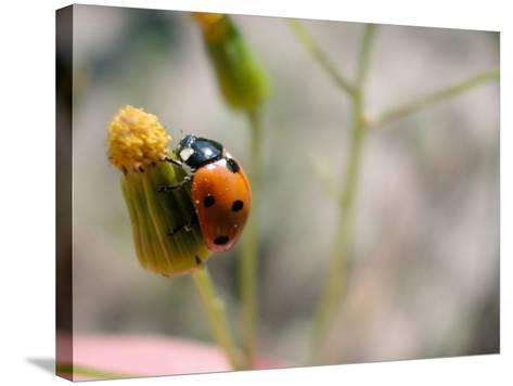 Selective Focus and Close-Up on Tiny Ladybug Insect--Stretched Canvas Print