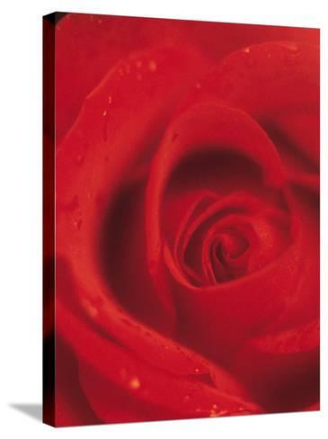 Close-Up of Blooming Petals of Red Rose--Stretched Canvas Print