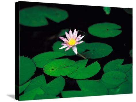Beautiful Blooming Flowers and Lily Pads in Garden--Stretched Canvas Print