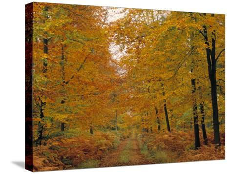Beech Trees in Autumn, Surrey, England-Jon Arnold-Stretched Canvas Print