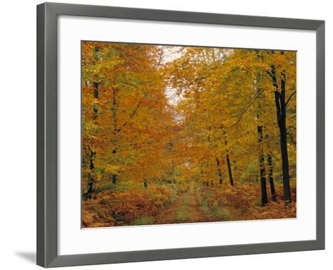 Beech Trees in Autumn, Surrey, England-Jon Arnold-Framed Art Print