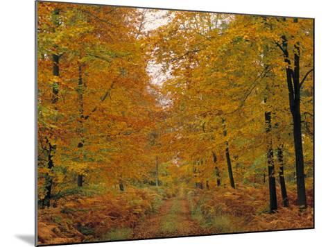 Beech Trees in Autumn, Surrey, England-Jon Arnold-Mounted Photographic Print