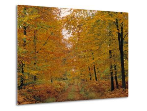 Beech Trees in Autumn, Surrey, England-Jon Arnold-Metal Print